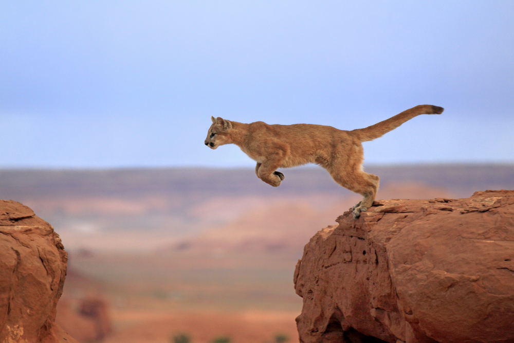 Mtn lion leaping across rocks
