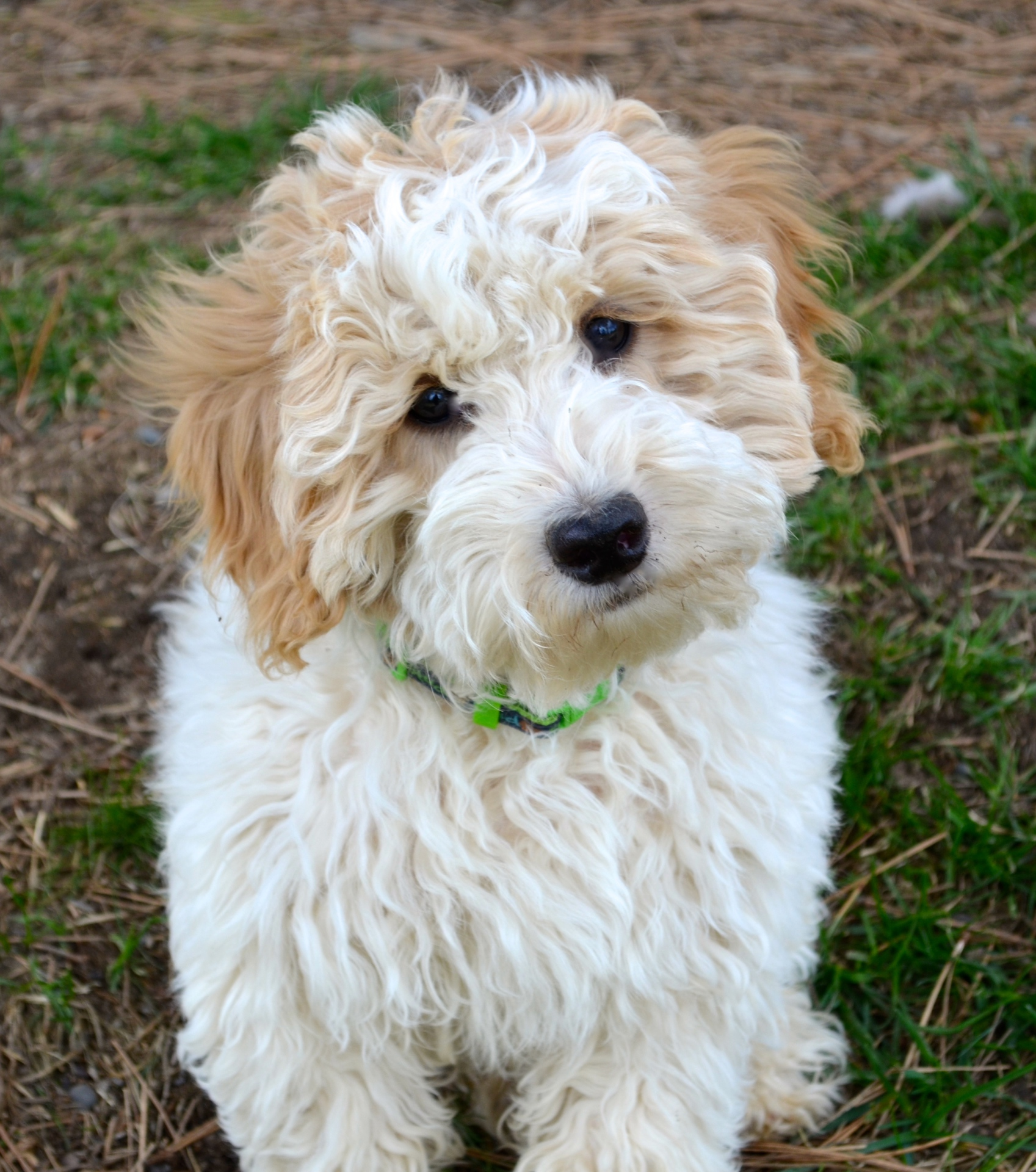 Grooming tips for Australian Labradoodles!