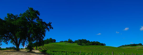 Oaks-and-Vineyard-s