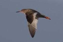 South Swale NR Redshank