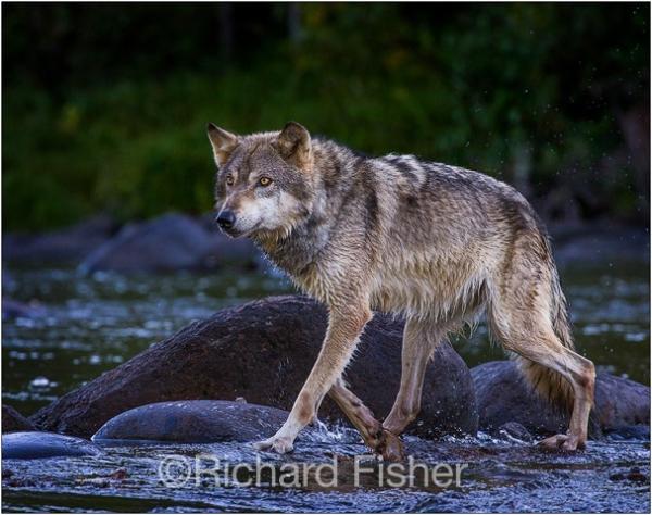 Wolf_7
