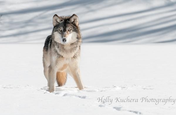 Sharratt_Wolf1