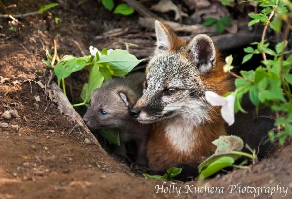 Eland_Grey fox
