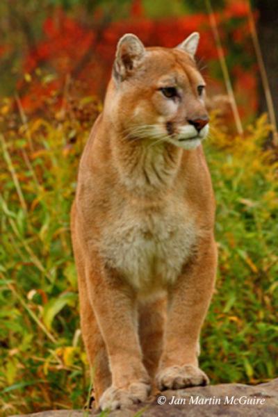 Bobcat_1