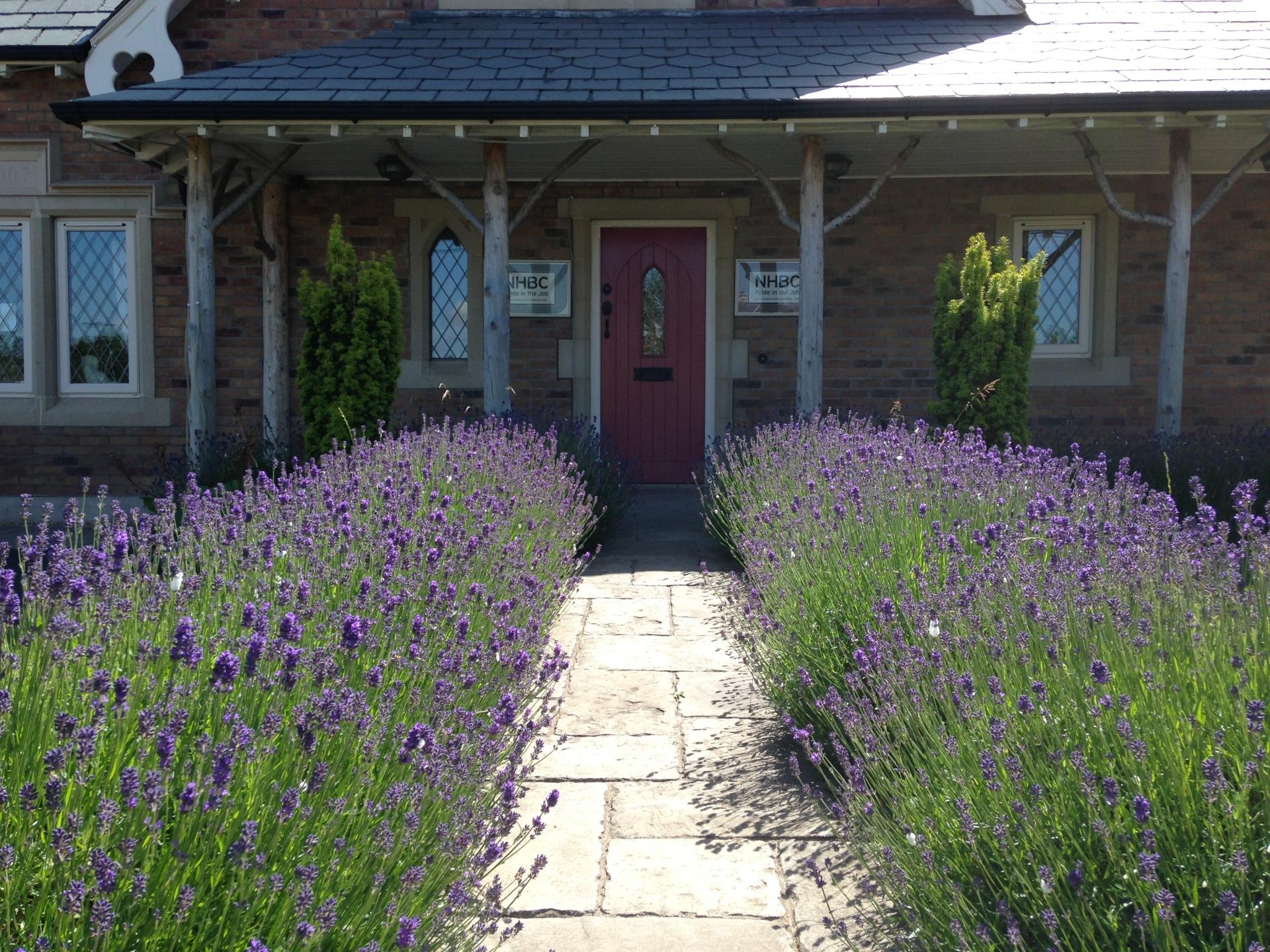 Lavandula hidcote Ballantine Garden Village Lisburn