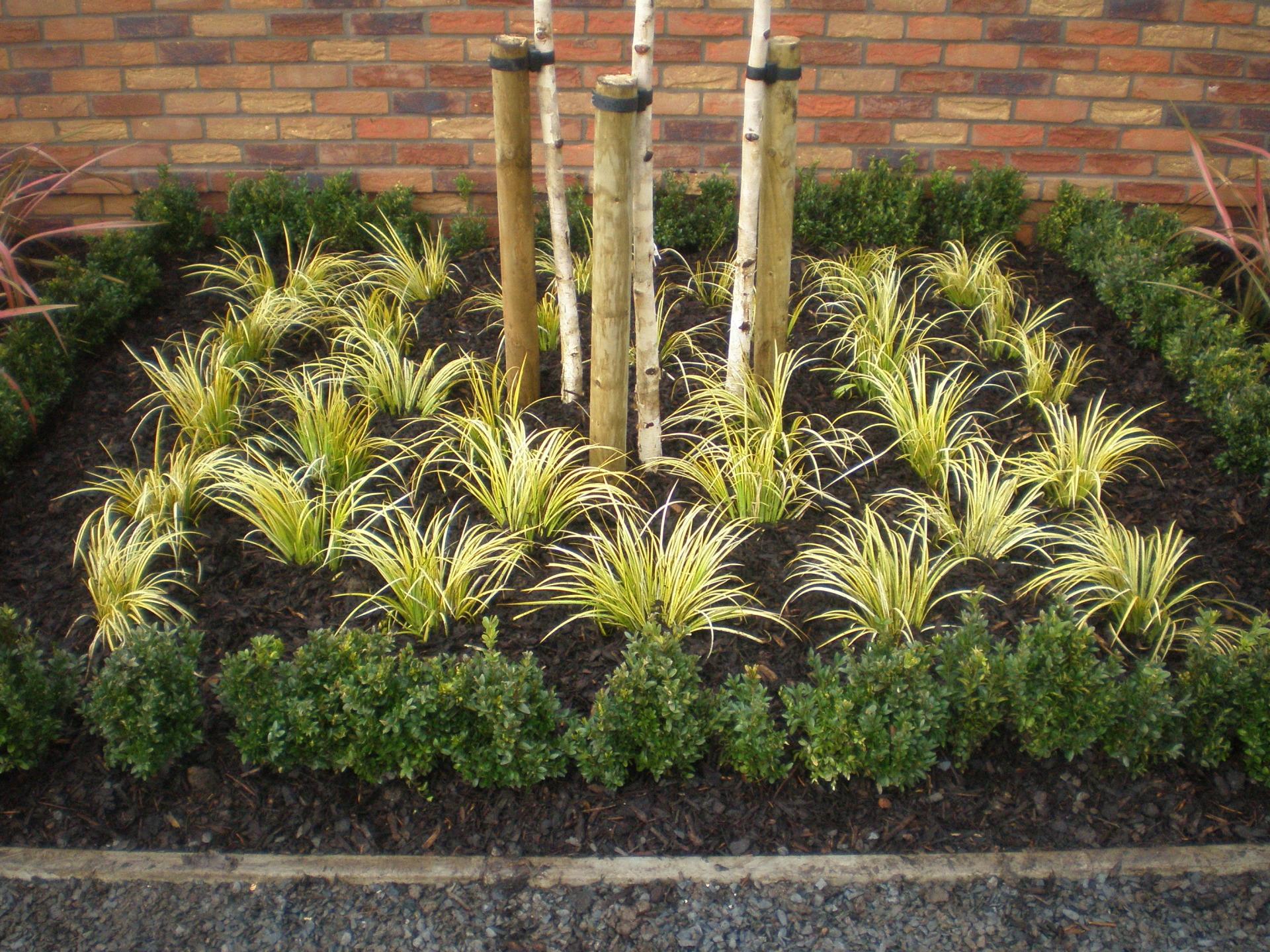 Betula utilis var. jacquemontii Acorus gramineus 'Ogon' Buxus topiary hedge