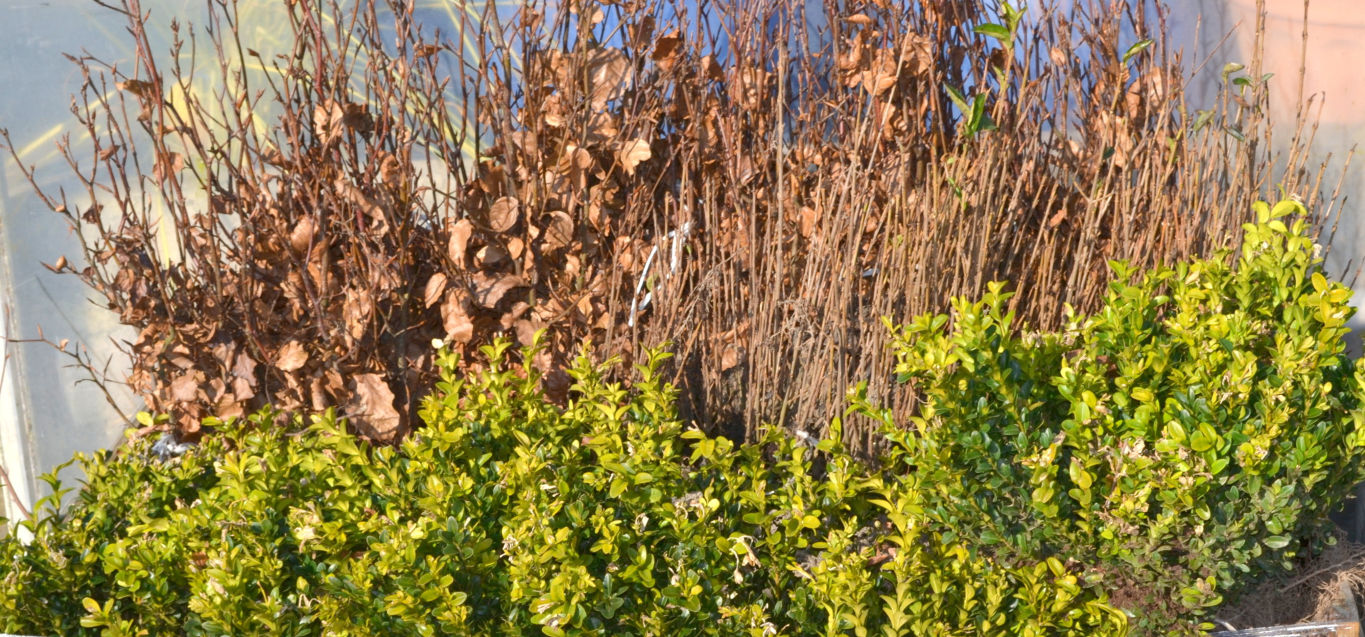 Garden Centre, Ben Vista, Plants, Hedge
