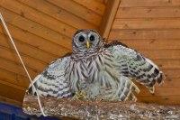 Owl rehabilitation