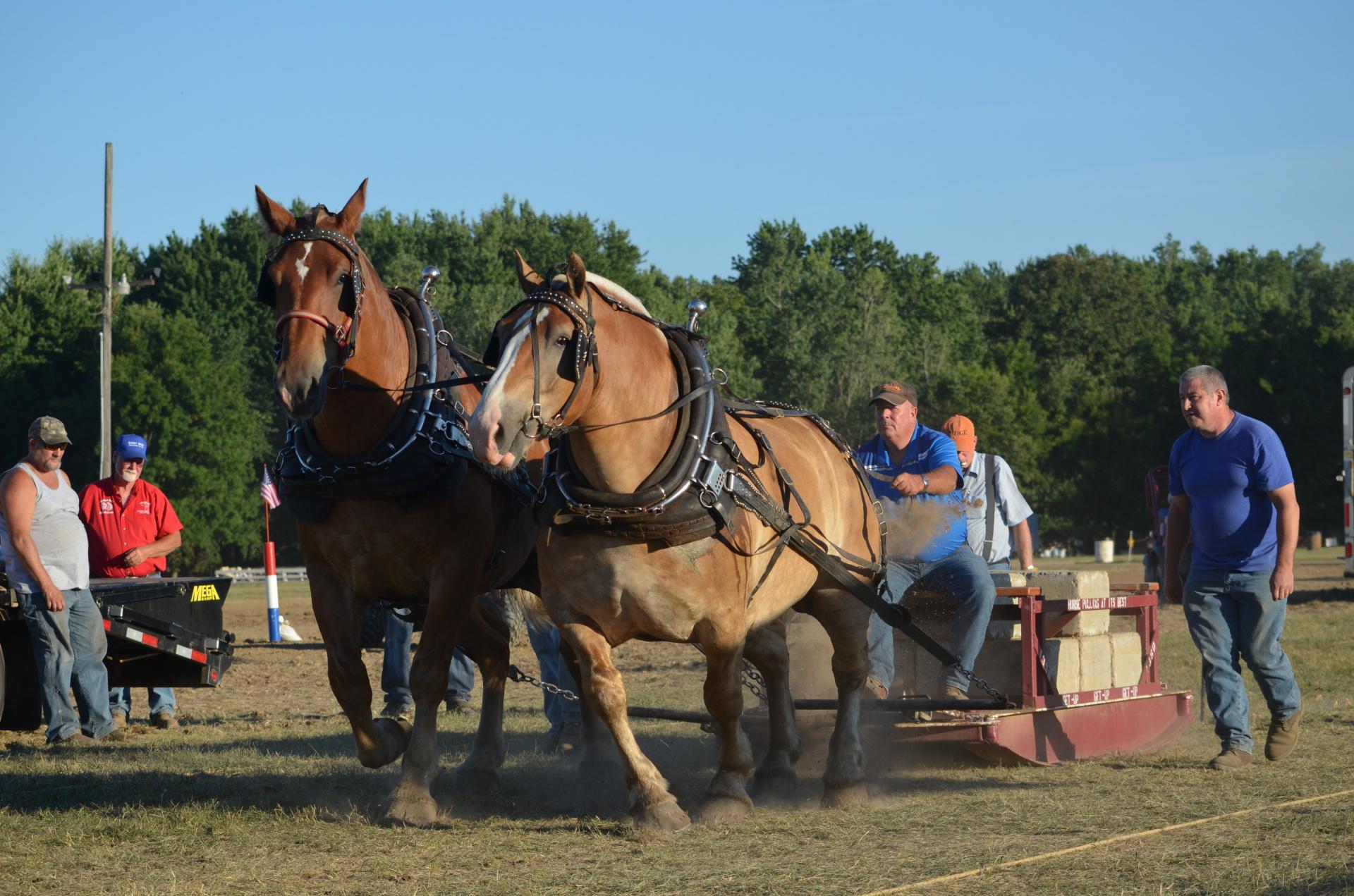 Draft Horse Pull 2016