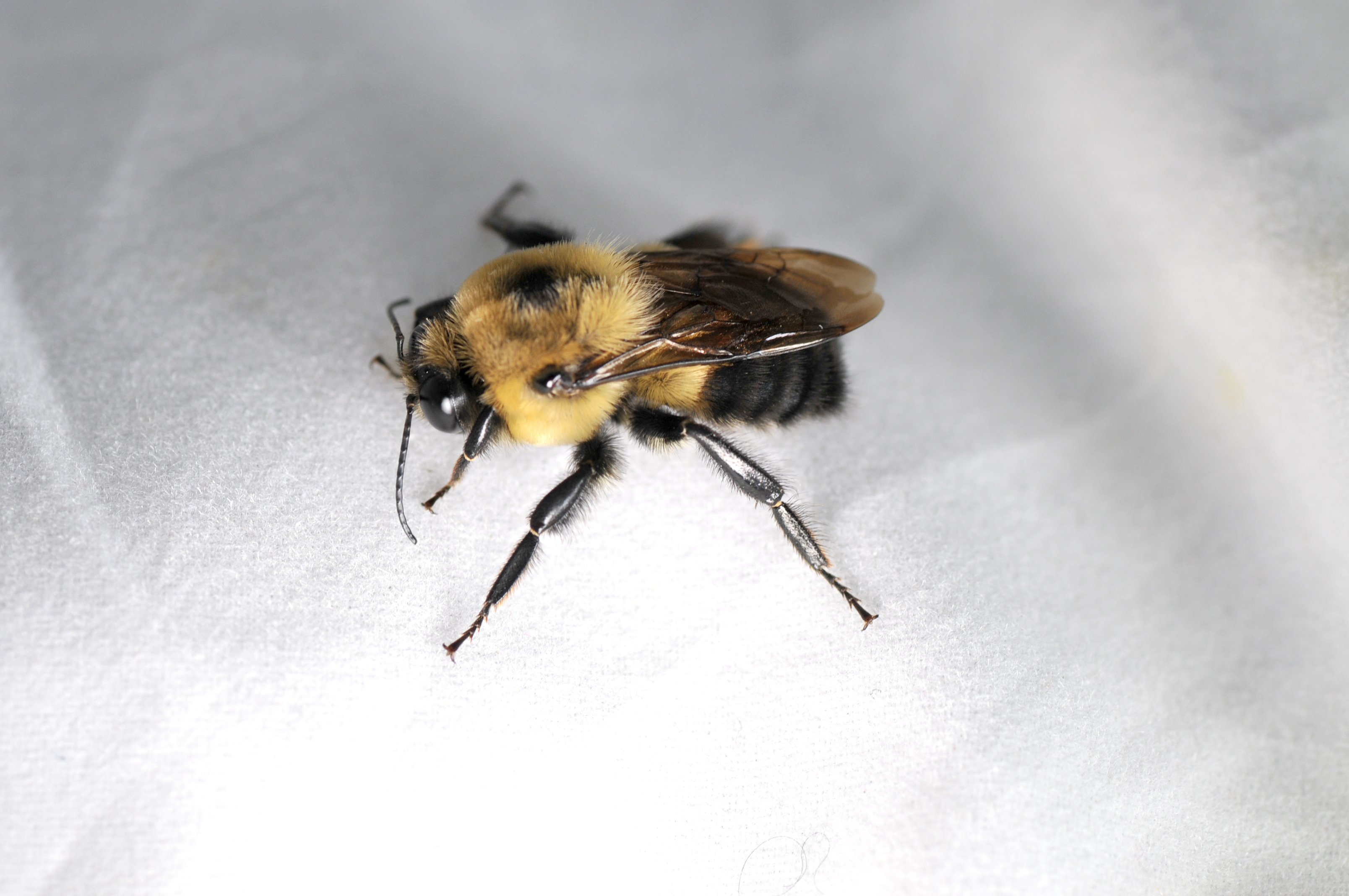 Bumblebee (male - look for large eyes/long antenna)
