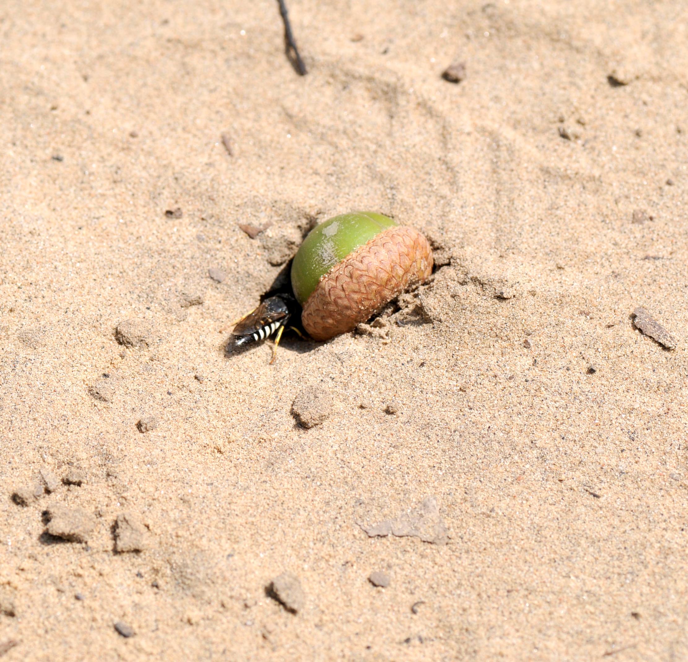 Sand wasp nest