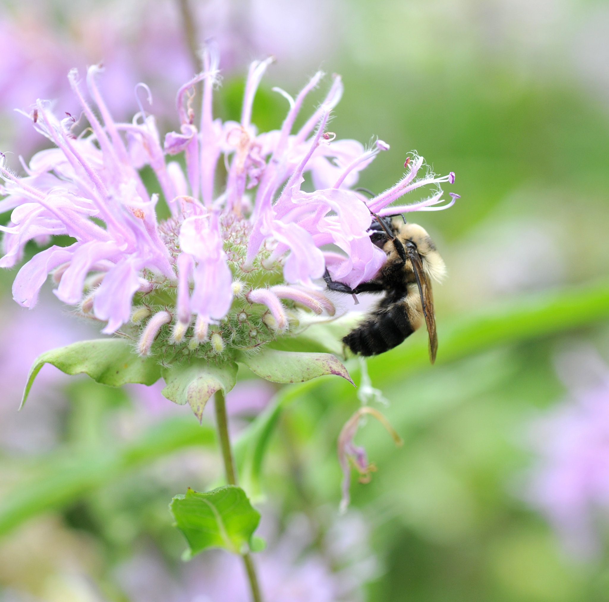Brown-belted bumblebee on bergamont