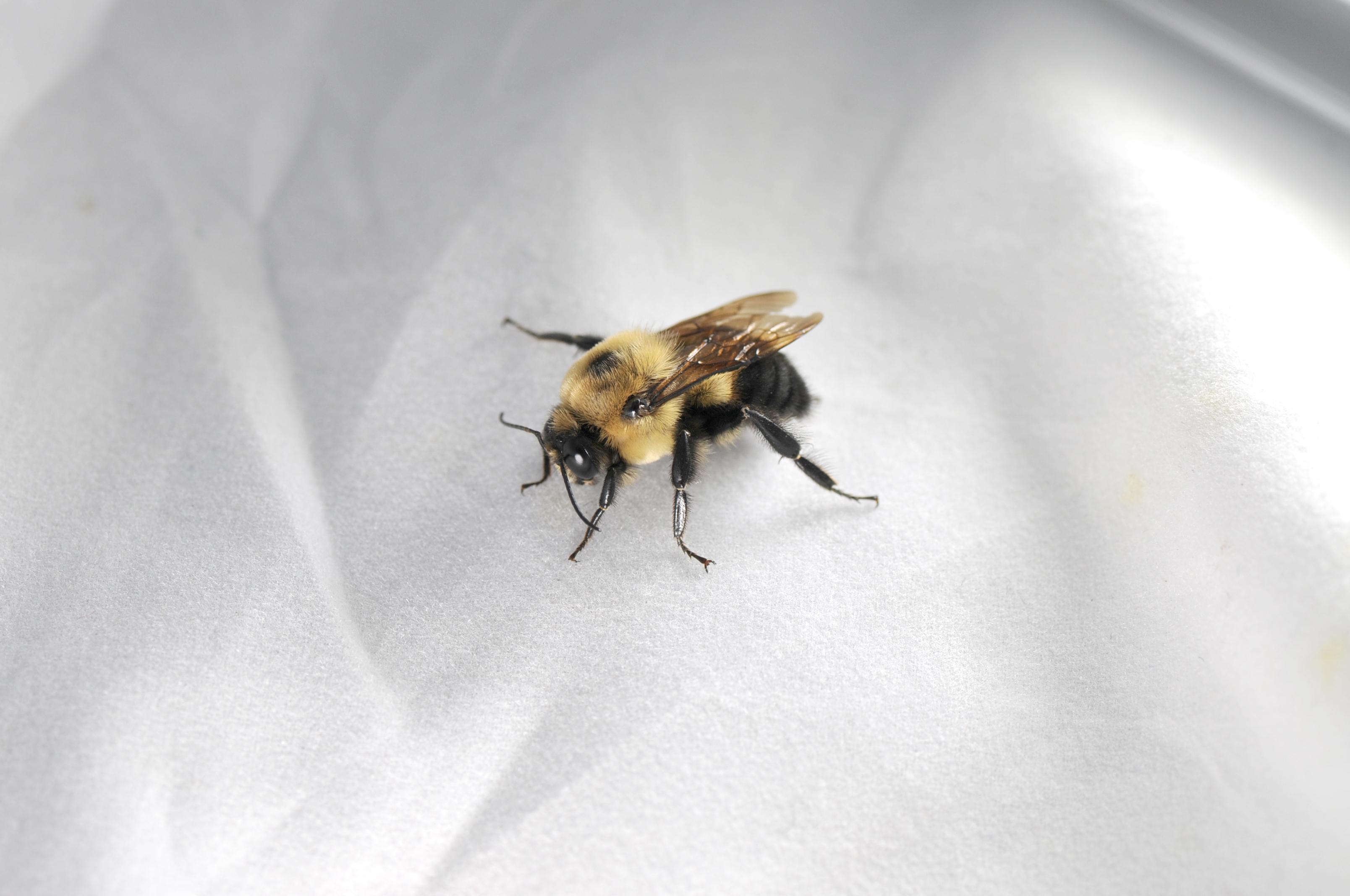 Male bumblebee