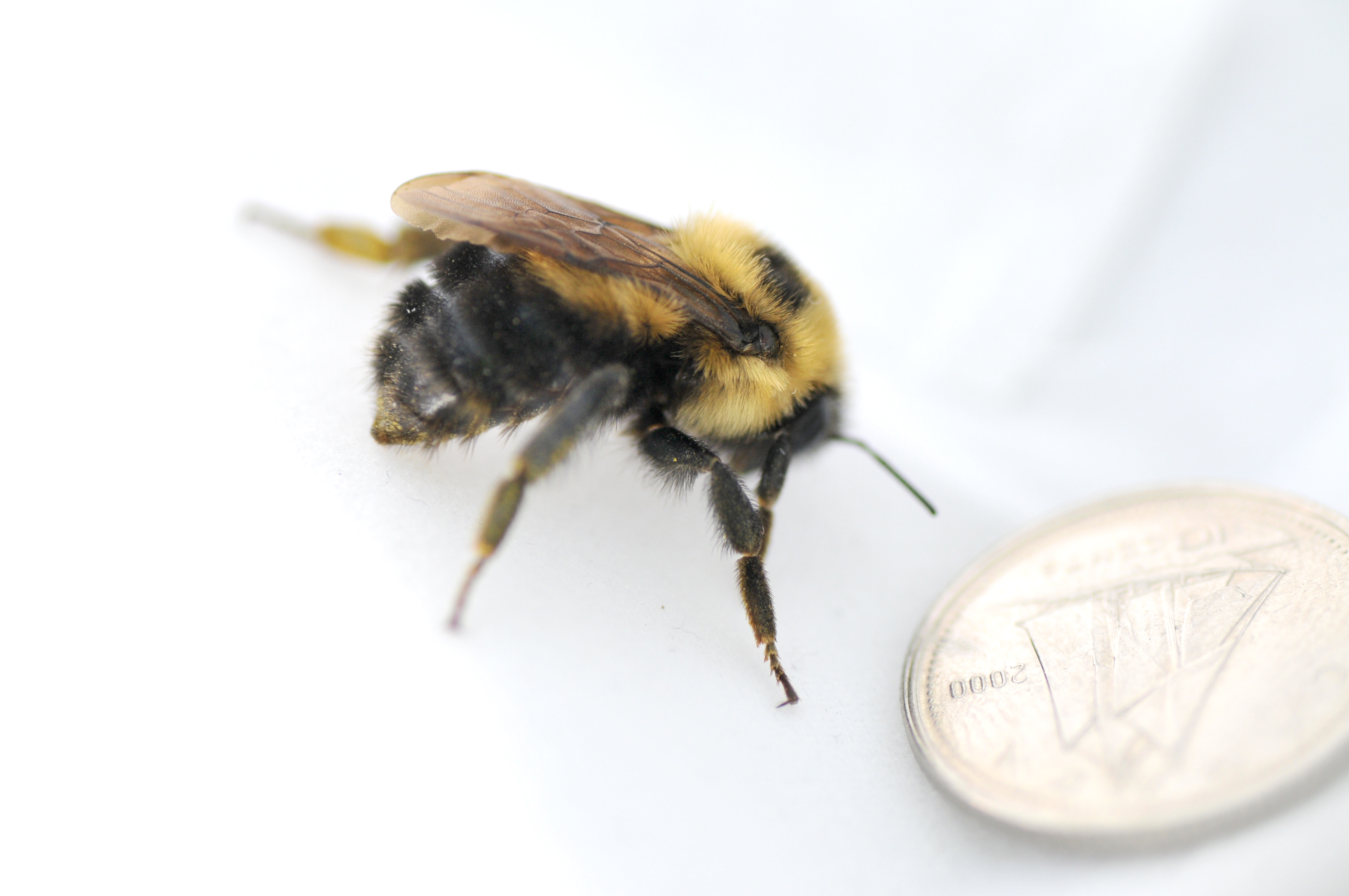 Bumblebee (brown-belted)