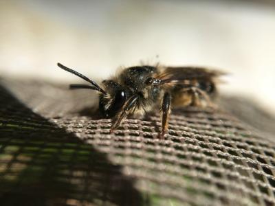 High Park Native Bee Monitoring Club