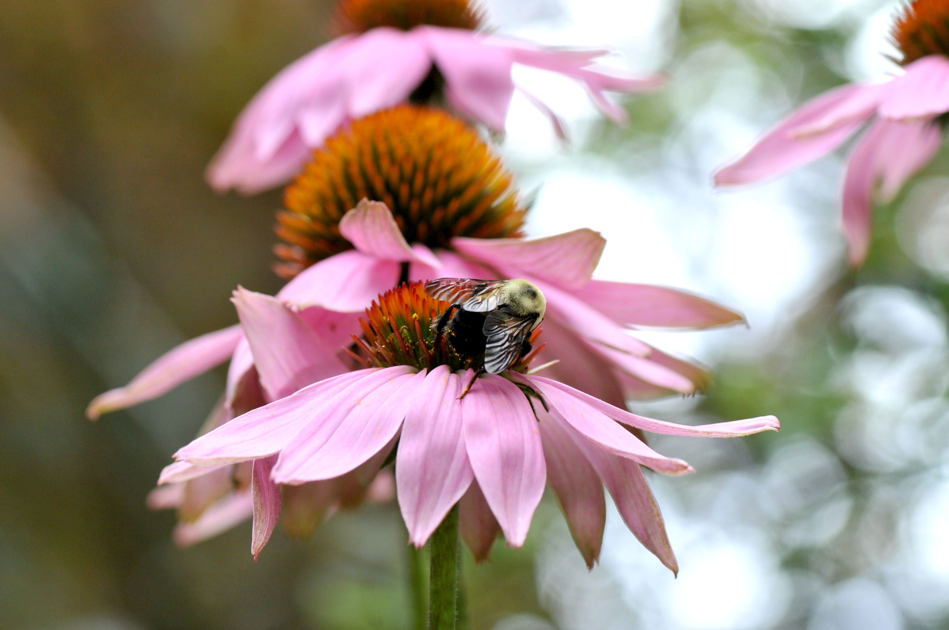 Bumblebee on Echinacea flower