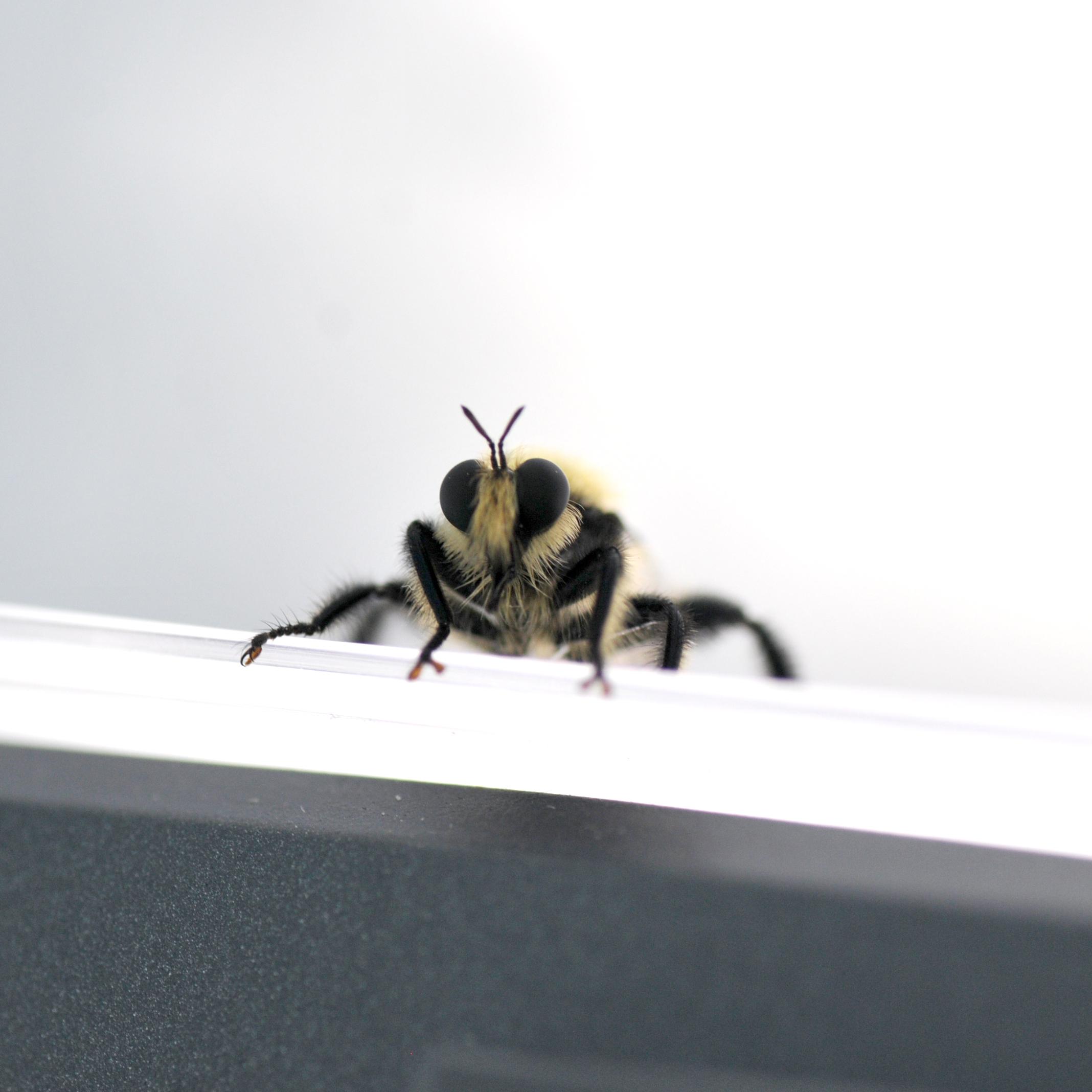 Robber fly (aka assassin flies)