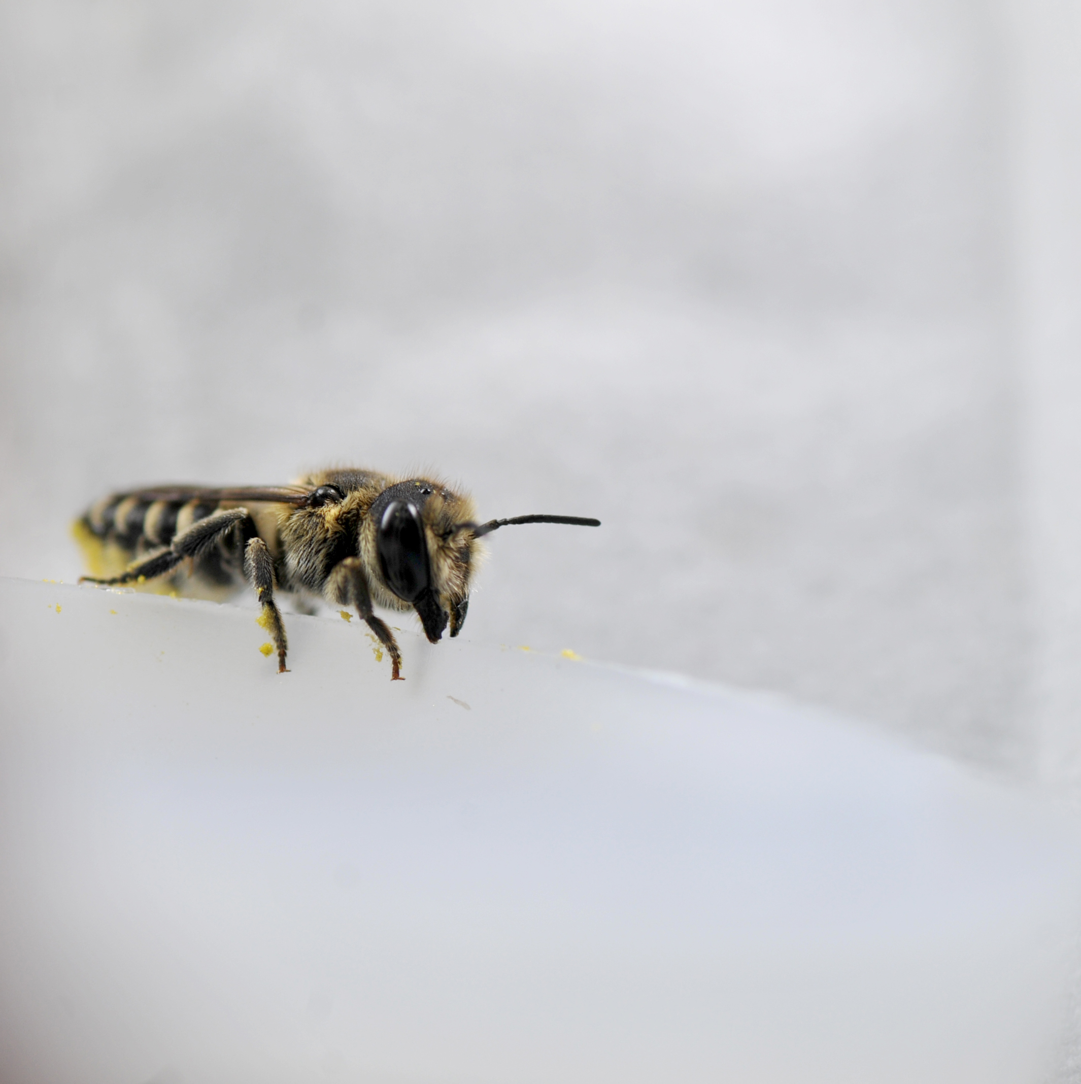 Leafcutter bee (f - look for scopa [hairs on underside of abdomen]