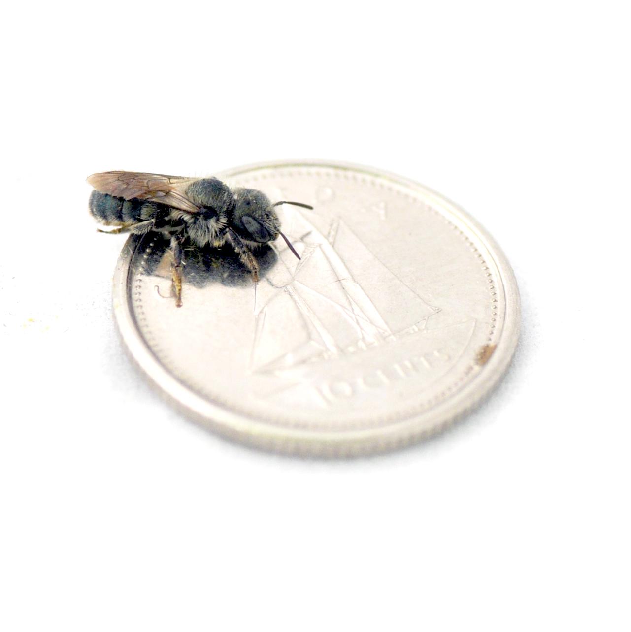 Osmia (Mason bee)