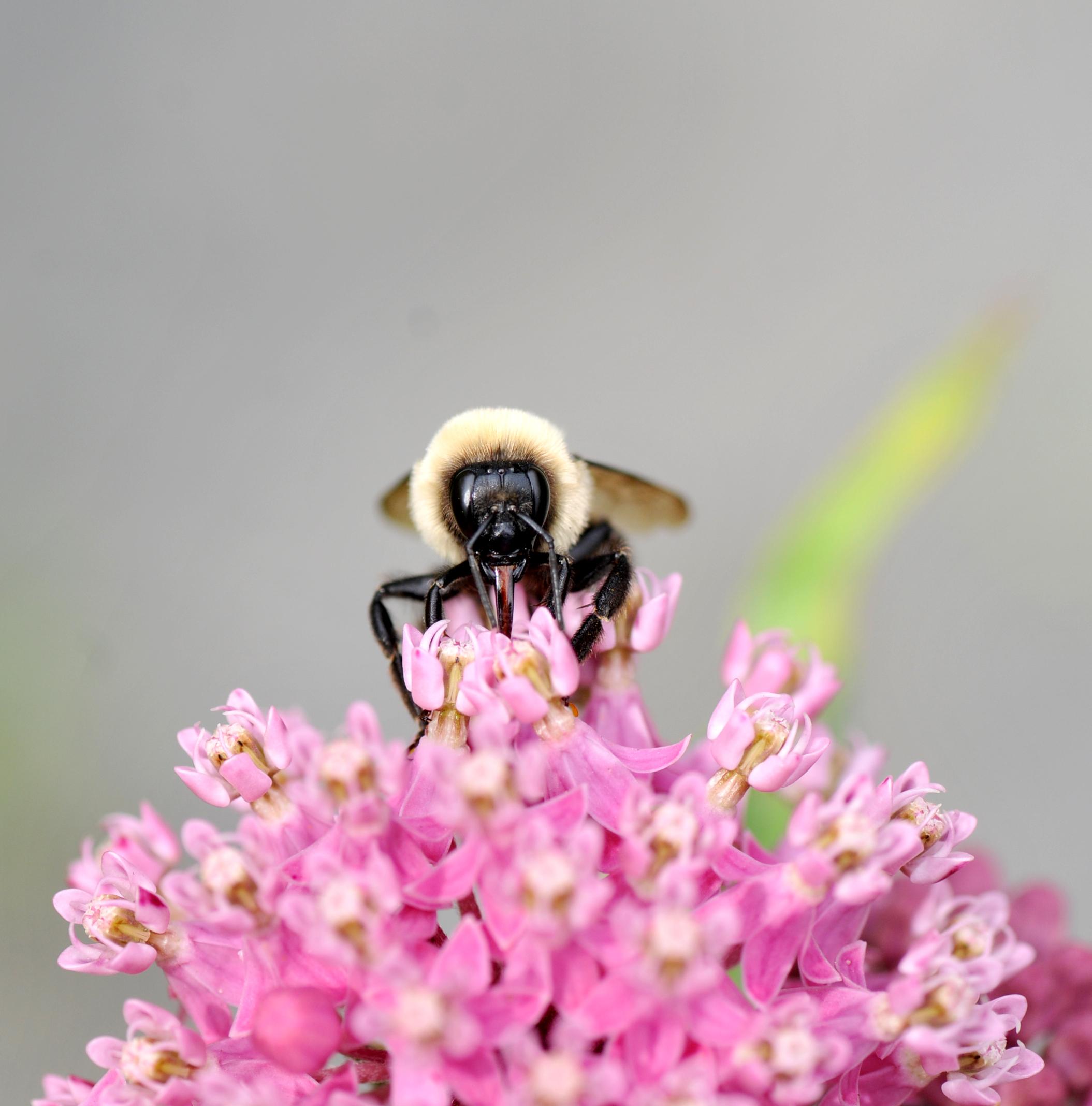 Bumblebee with proboscis