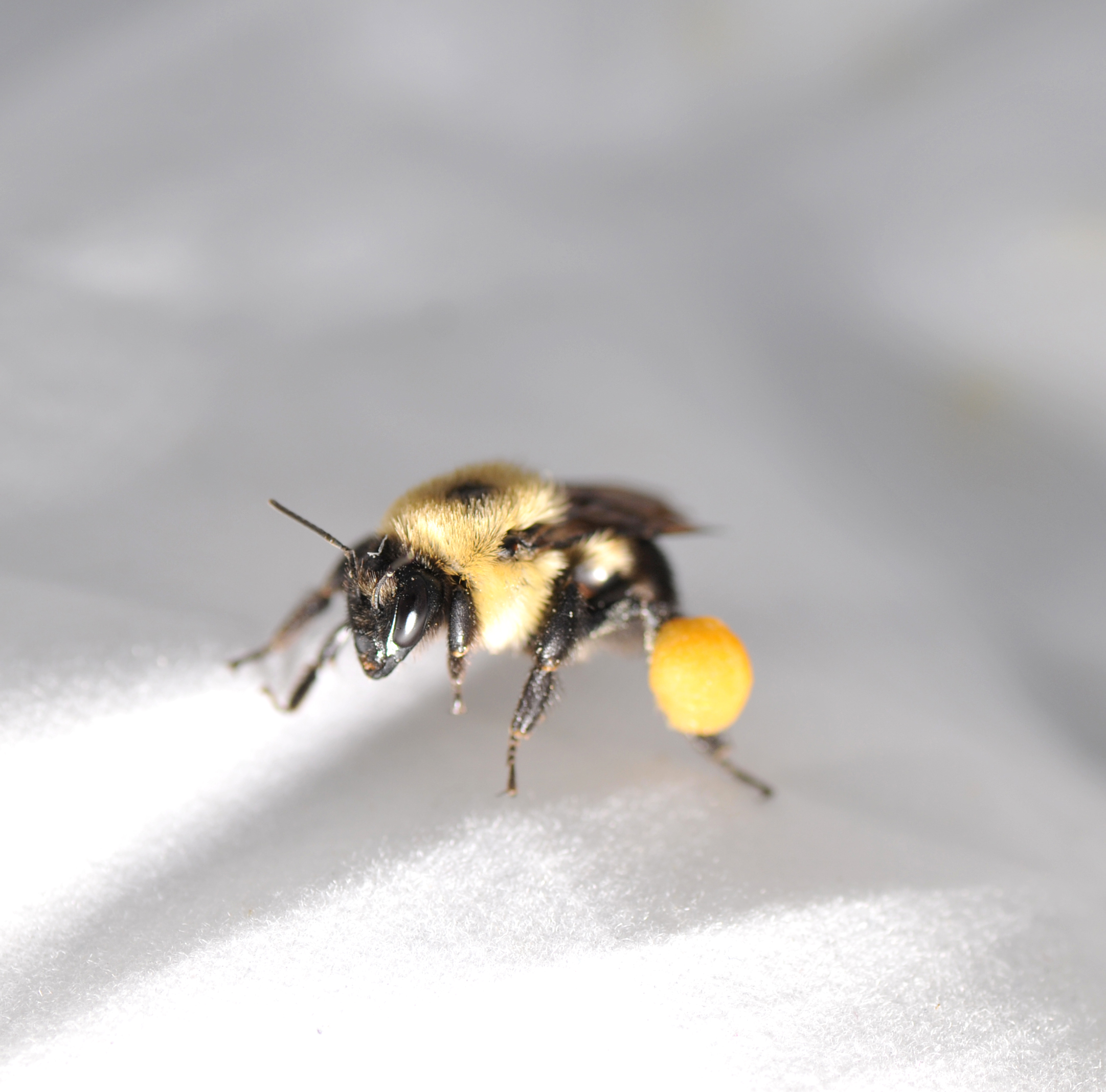 Female bumblebee with pollen on pollen baskets
