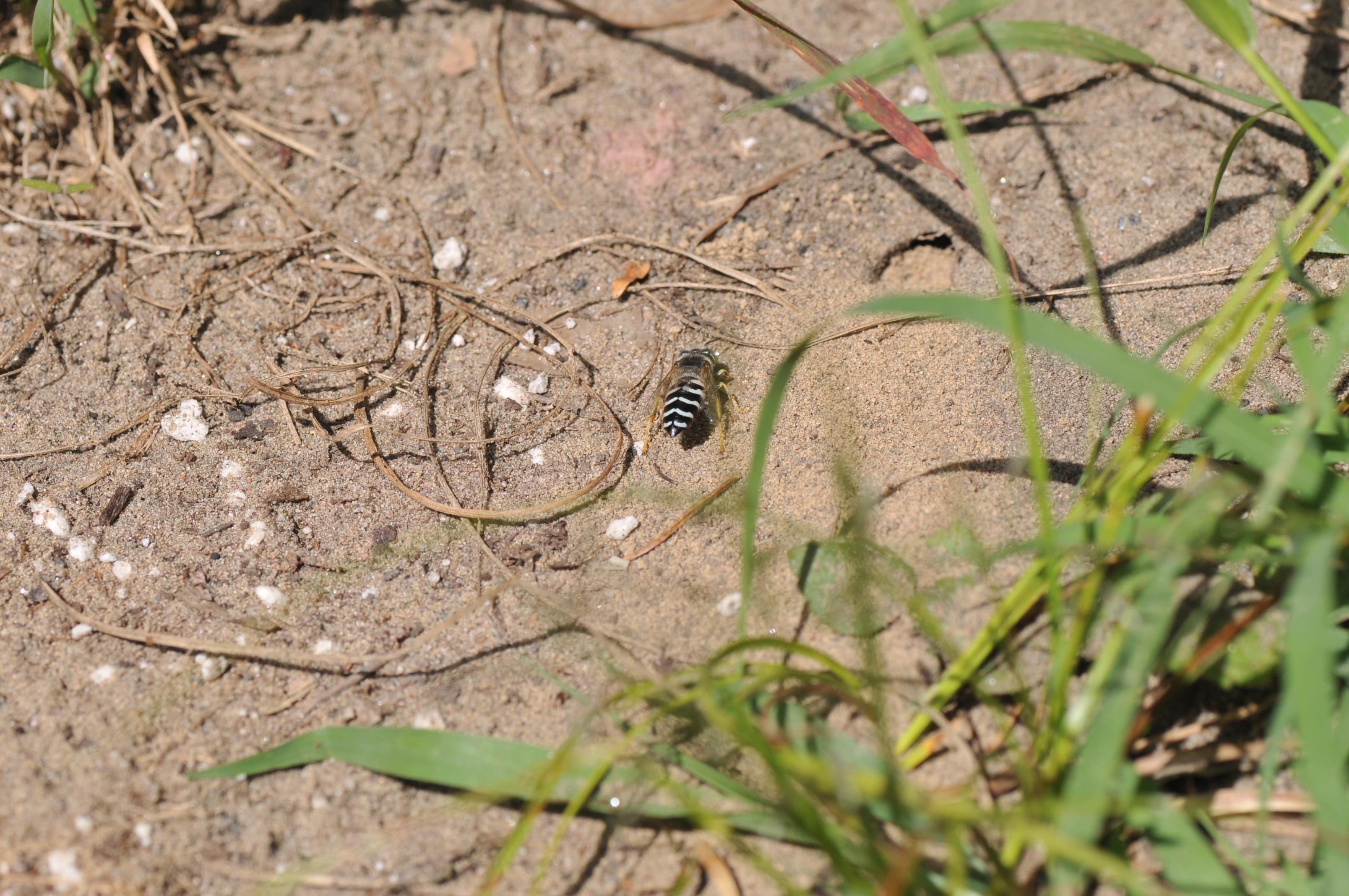 Sand wasp digging