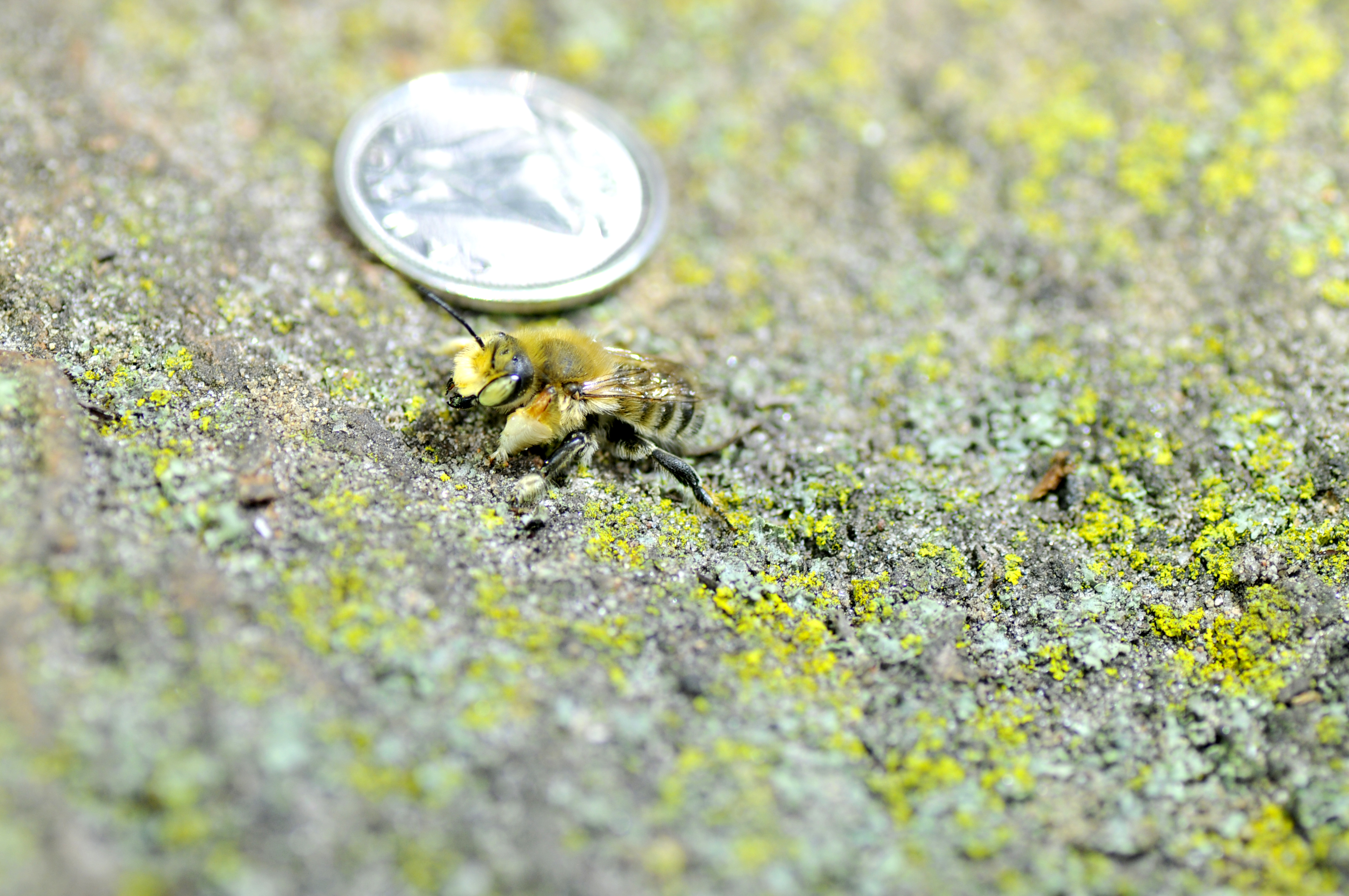 Male leaf-cutter bee