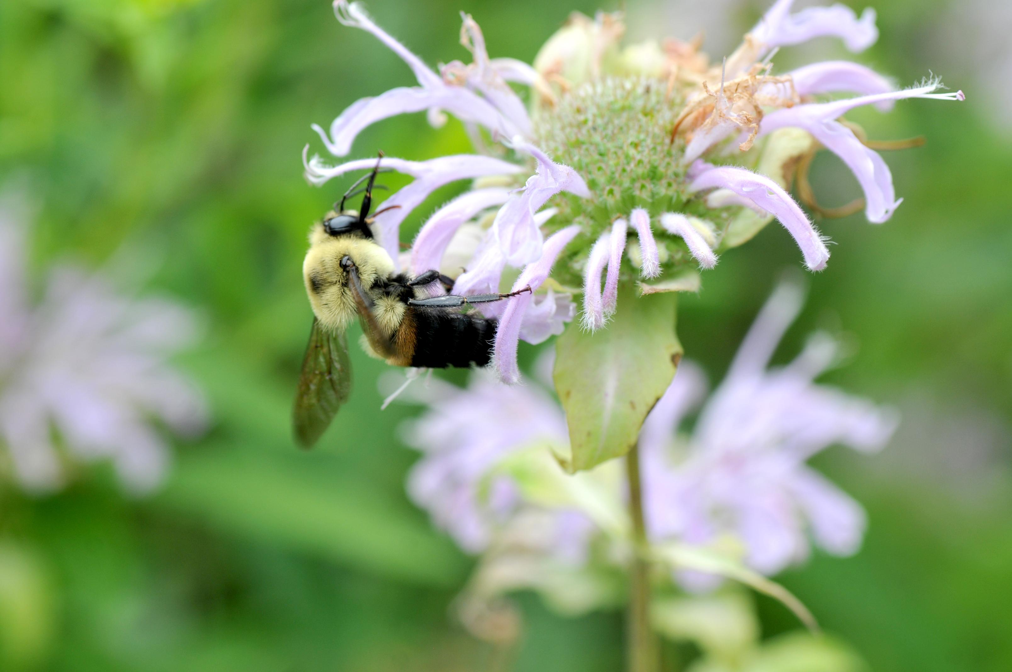 Bumblebee on bergamot