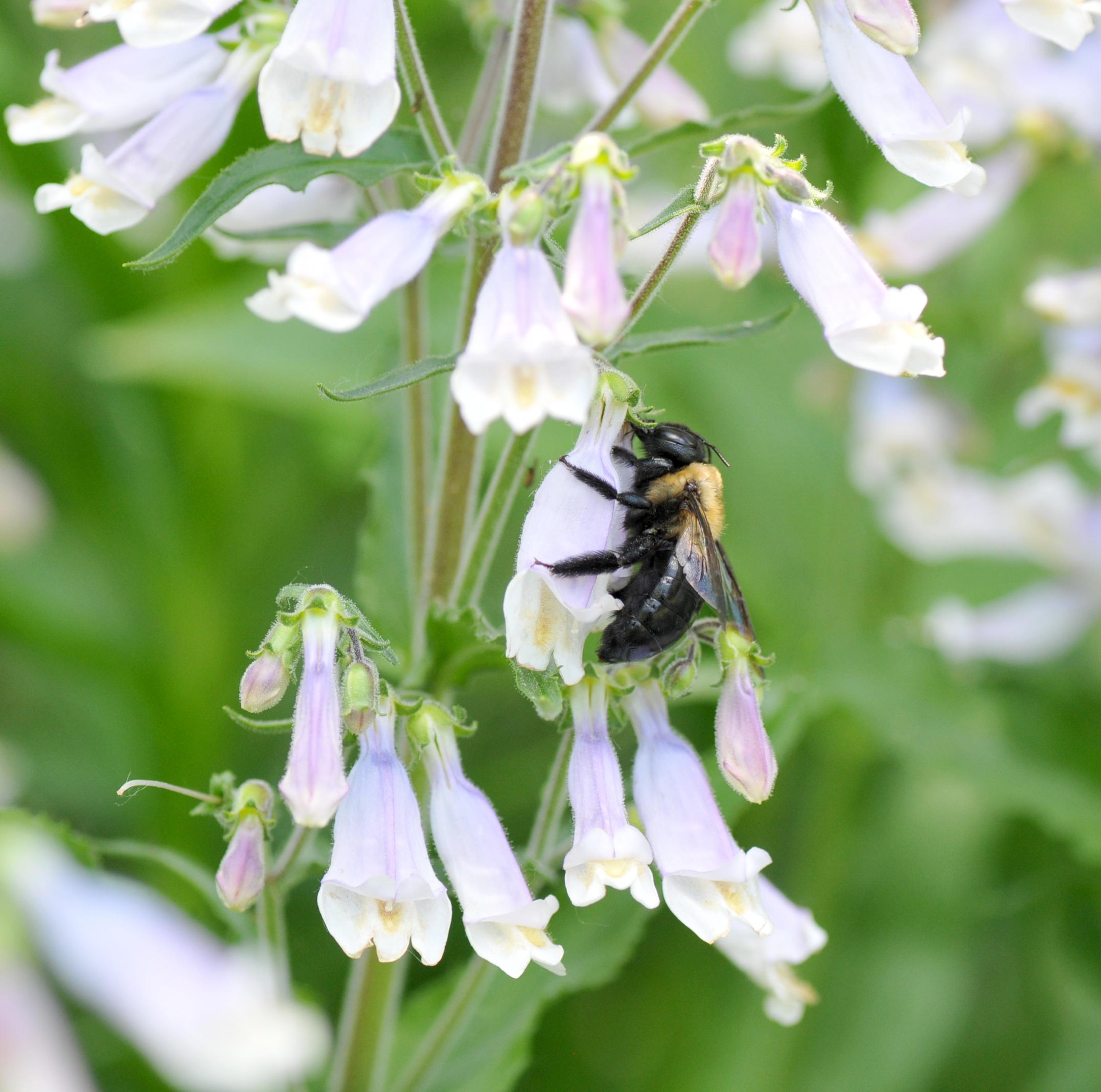 Female carpenter bee