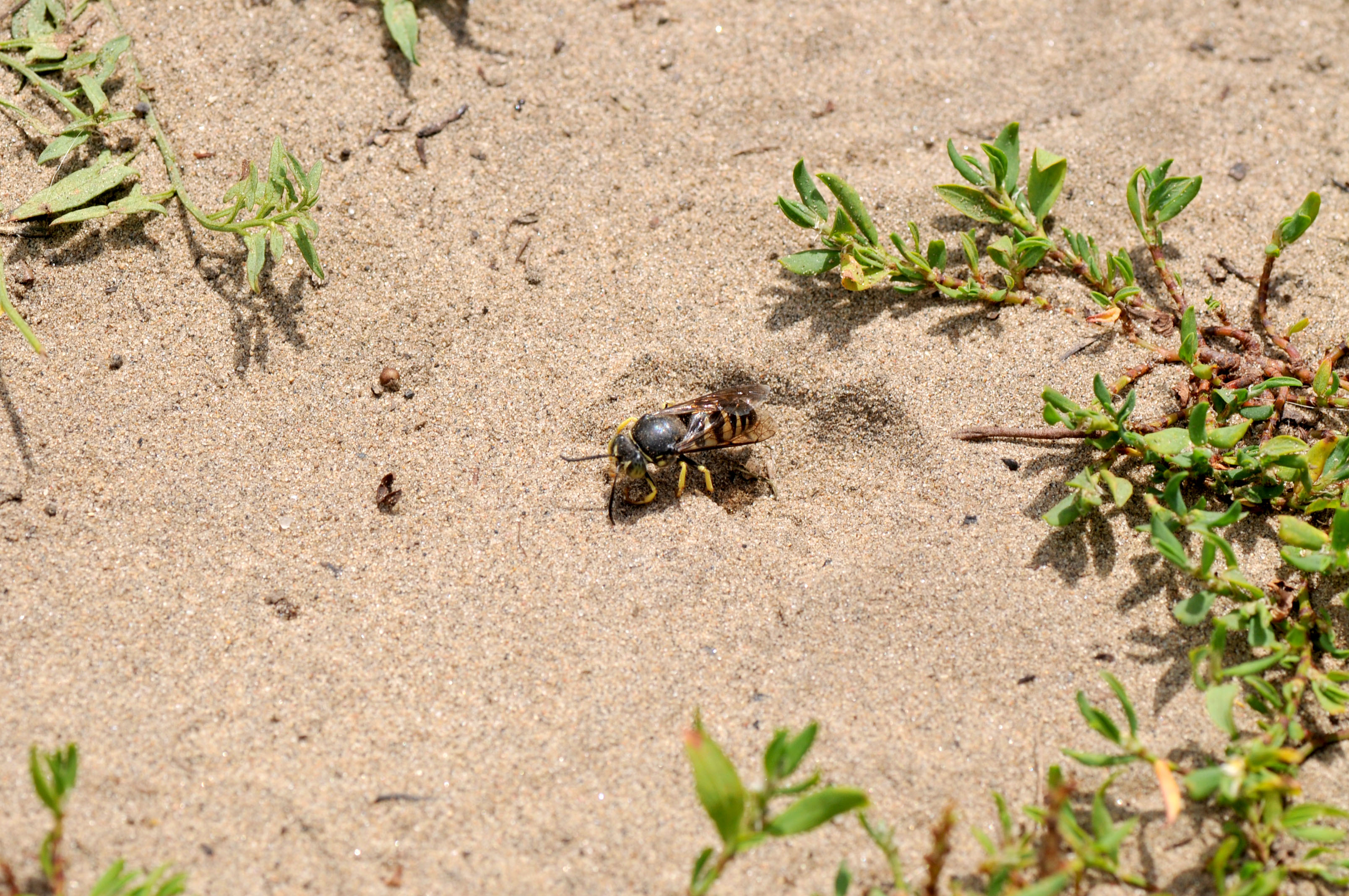 Sand wasp