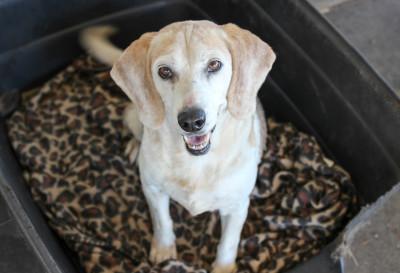 Figi - 15 year old Beagle