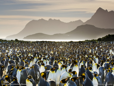 King Penguins on South Georgia Island.  Source: National Geographic