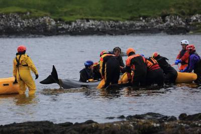 Stranded pilot whales in Staffin