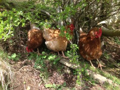 Welcome to our new hens