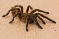 spide rcommon pest