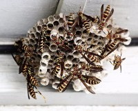 wasp hornets