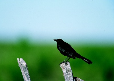 grackle black bird