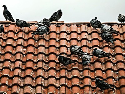 pigeons roof