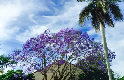 Jacaranda Tree - Bloom Each Year in April....