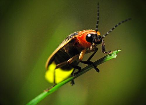 Firefly ! Firefly!