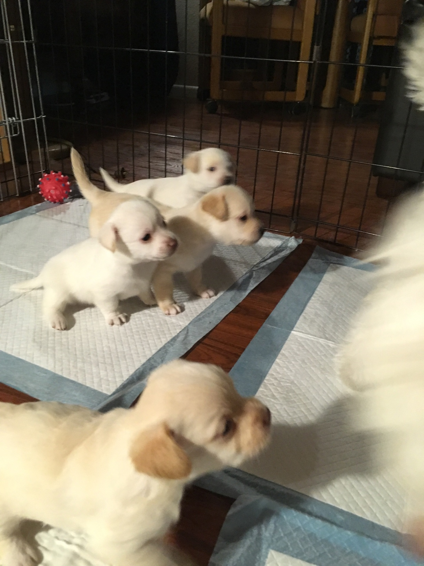 Multi-poo Pups