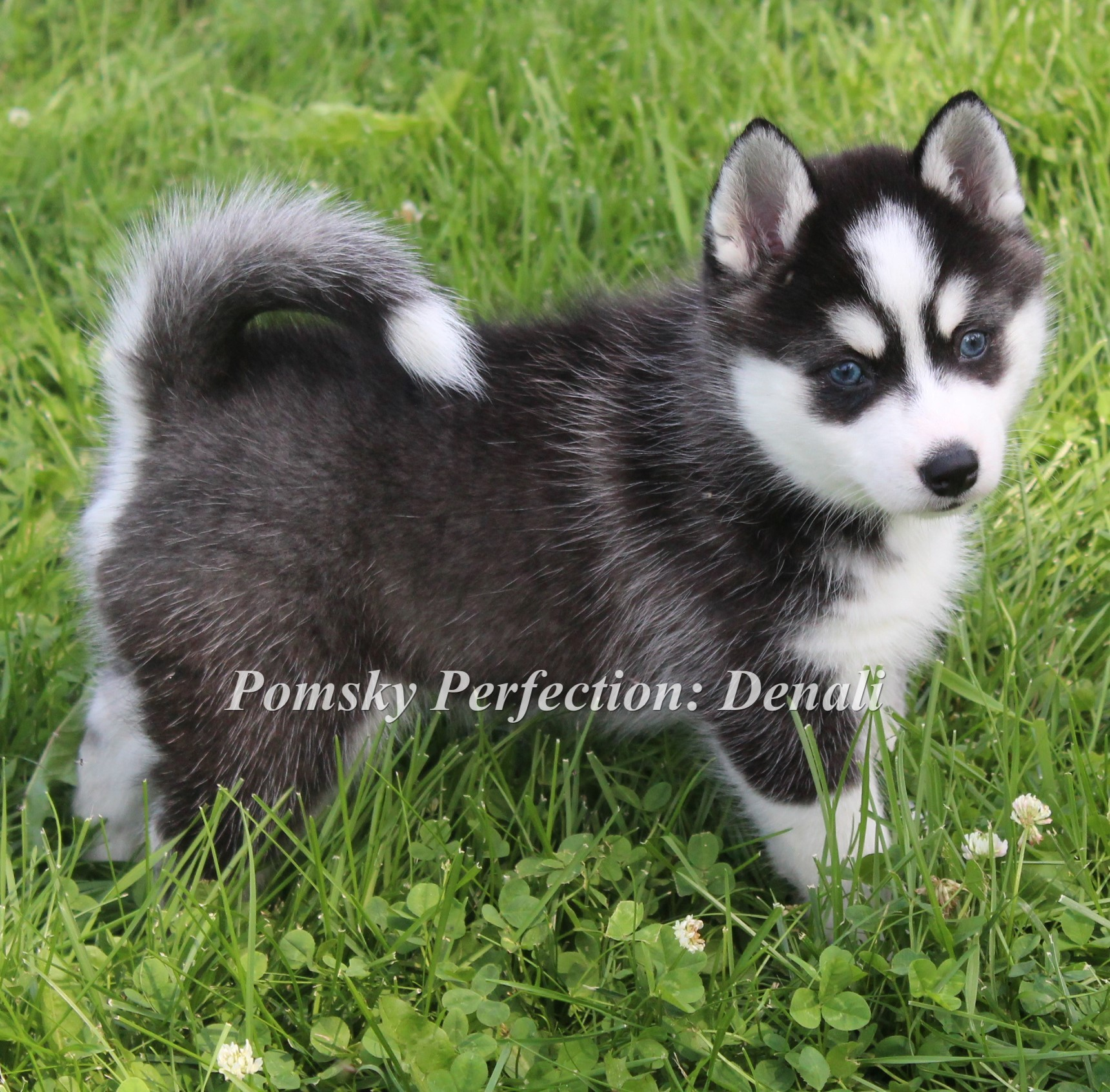 Denali ~ Past Puppy