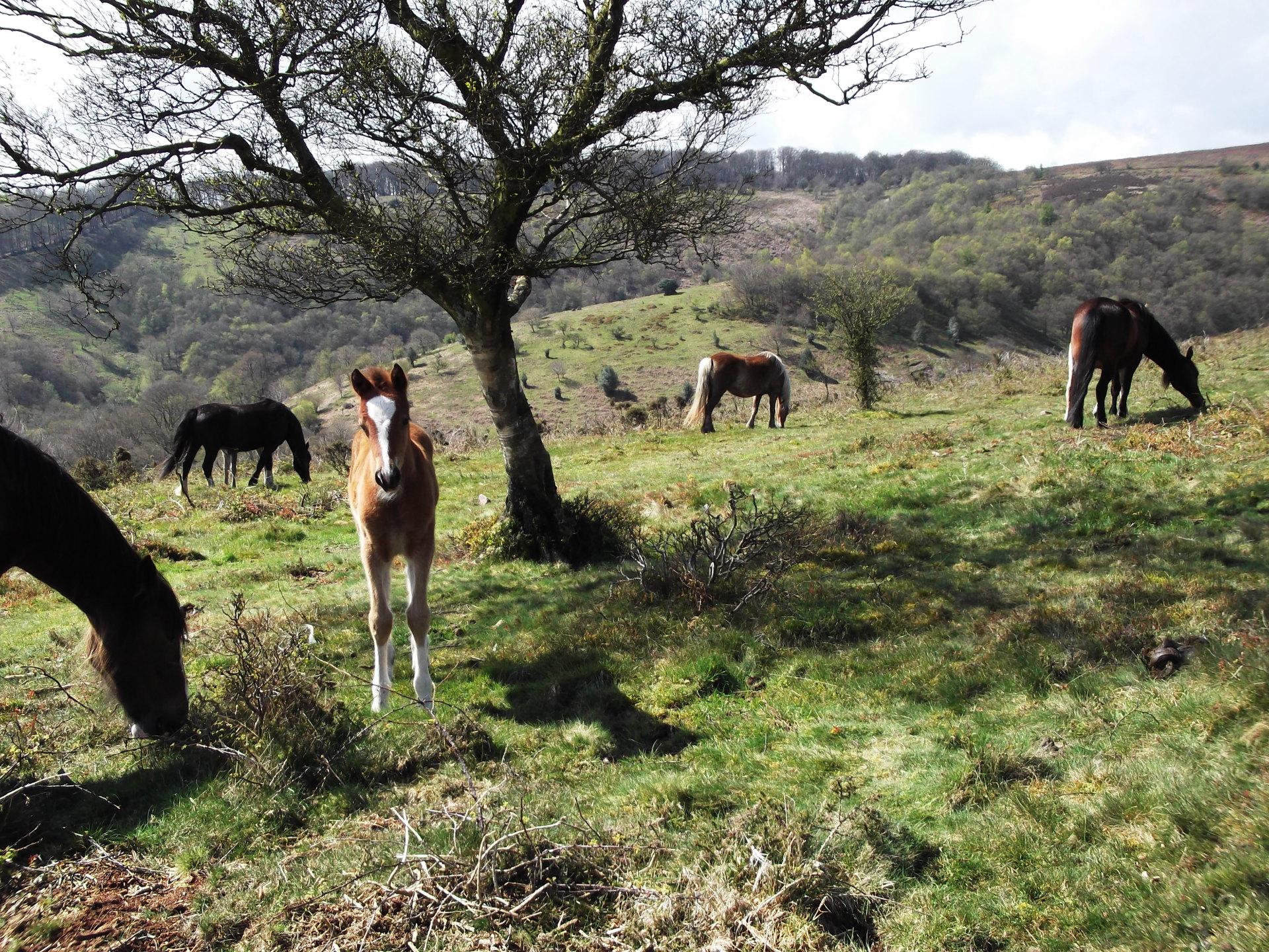 Quantock hill ponies