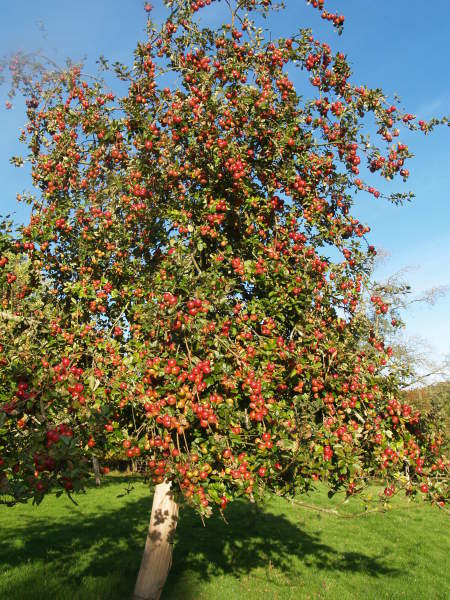 Traditional Cider Apple Orchard