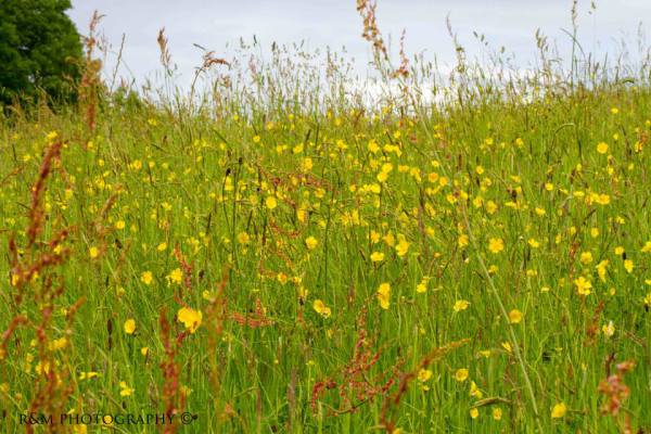 Wild flowers in hay meadow