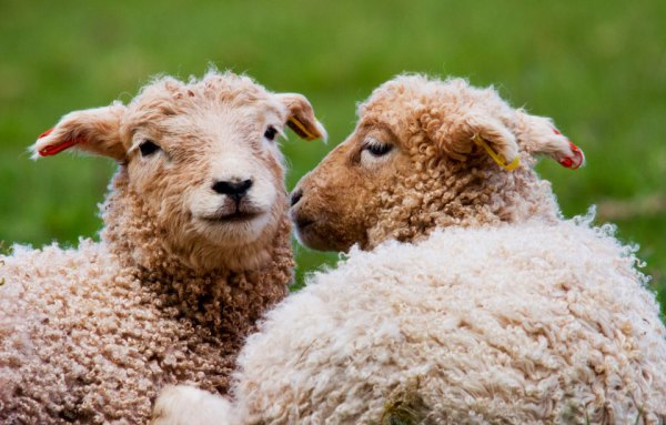 White-Face Dartmoor lambs