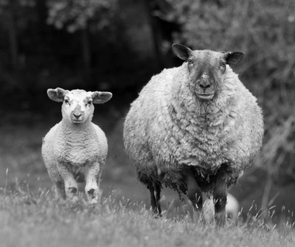 Ewe with lamb BW