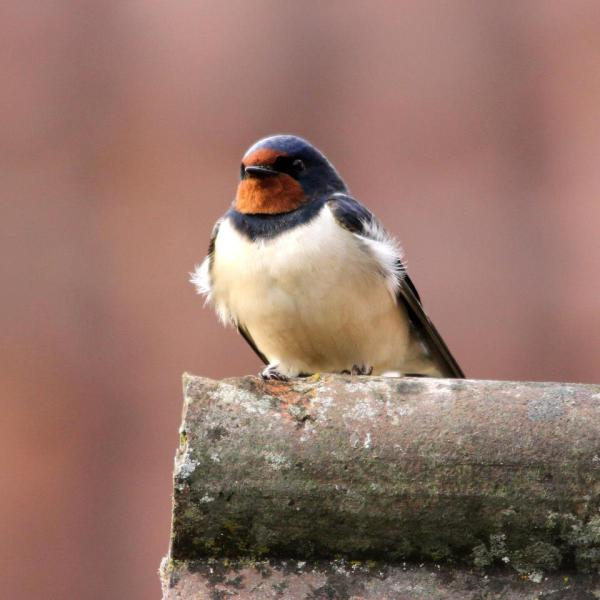 Fledgling swallow