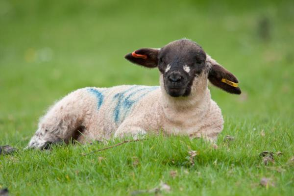 Suffolk lamb