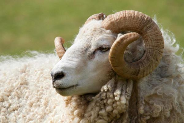 Percy the White-faced Dartmoor Ram
